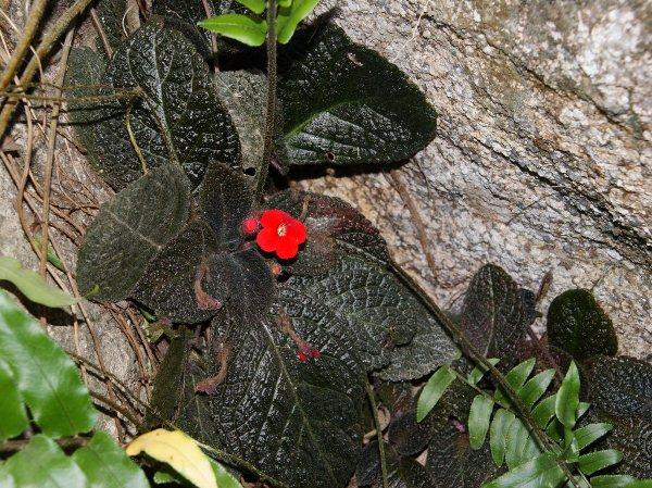 Дикорастущие Эписции представляют собой невысокие стелющиеся многолетние растения с обильными боковыми отростками