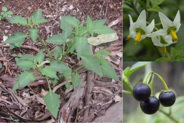 Цветение и ягоды паслена черного