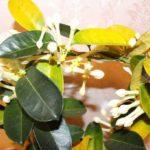 Стефанотис желтеет от жесткой воды