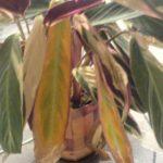 Листья строманты желтеют и сохнут от недостаточного полива