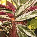С обратной стороны листья строманты имеют необычный цвет