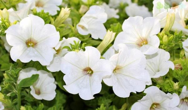 Полумахровые цветочки сурфинии