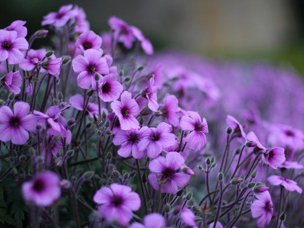 Названия фиолетовых цветов и названиями 48