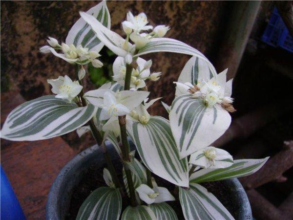 Цветение традесканции происходит только при умеренном удобрении
