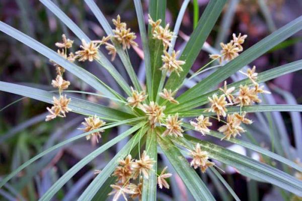 Внешне циперус напоминает пальму, цветет мелкими цветочками белого или желтоватого оттенка