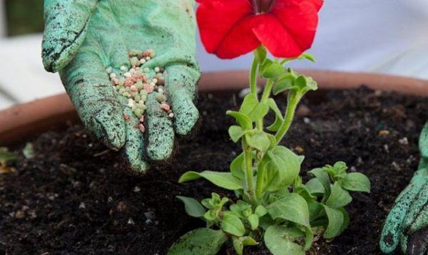 Для красивого цветения и роста также необходимы удобрения