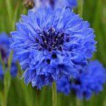 Blue Diadem
