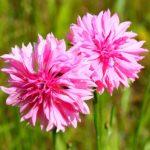 Florence Pink