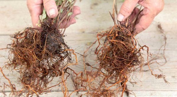 При делении куста для каждой деленки сохраняется часть куста и корня