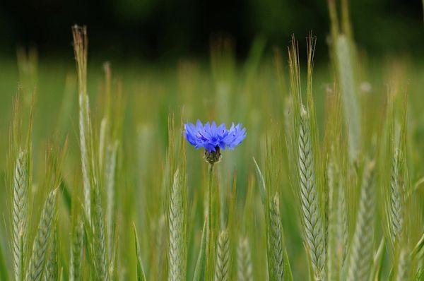 Различные названия василек получил благодаря яркому цветку
