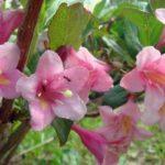 Кистевидные соцветия