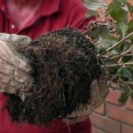 Выкапывание и подготовка к делению куста