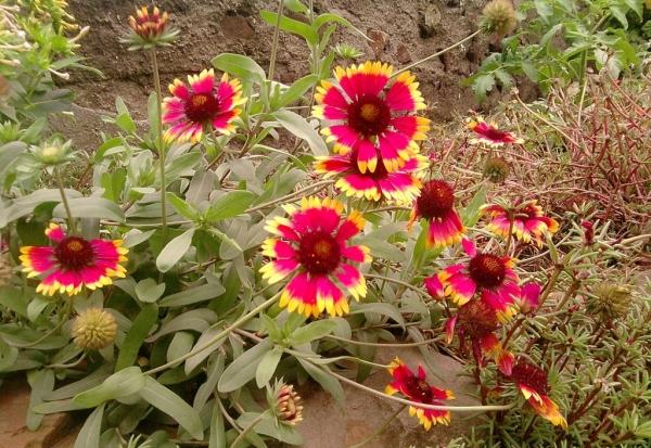 Цветы любят подкормку в период бутонизации, мульчирование, полив по мере высыхания почвы