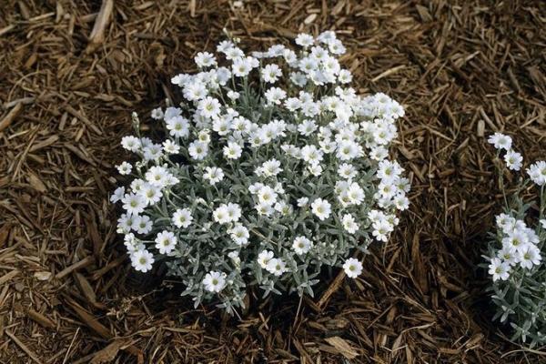 Растение нуждается в обрезке, нечастом поливе, прополке
