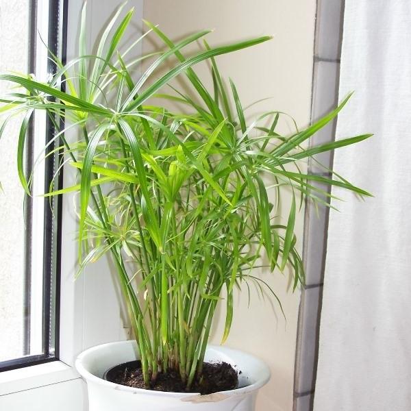 Цветок требователен к частому поливу, предпочитает яркий рассеянный свет, листки опрыскивают тёплой водой