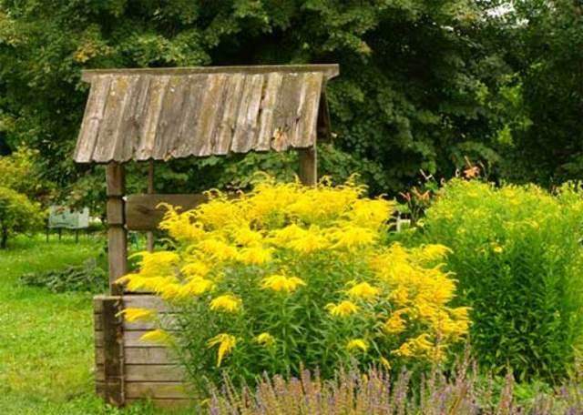 Цветущий на садовом участке золотарник