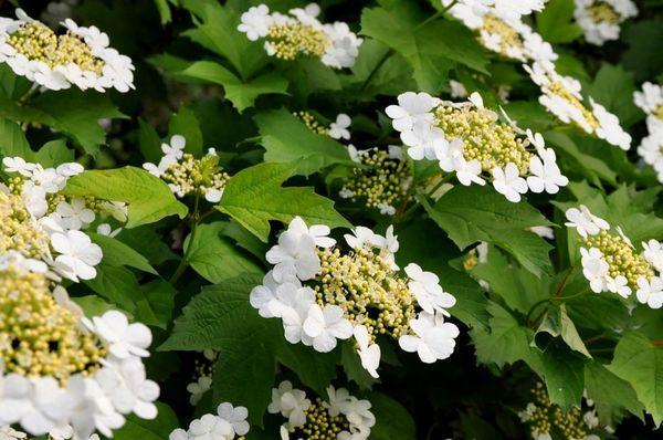 Деревья с белыми цветами