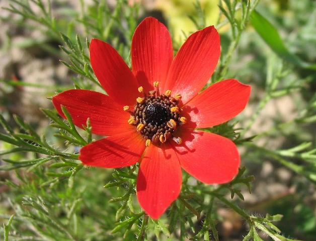 Адонис-цветок занесённый в красную книгу.