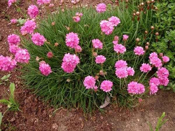 Армерия приморская Розеа Компакта (Rosea Compacta)