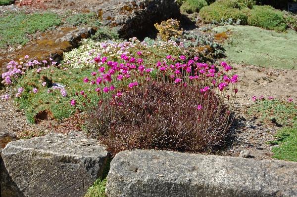 Армерия приморская Рубрифолия (Rubrifolia)