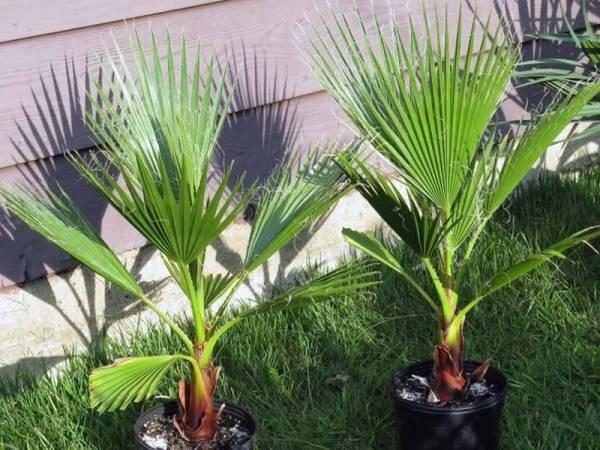 Пальма вашингтония в домашних условиях выращивание из семян 46