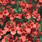 Даймонд корал роуз
