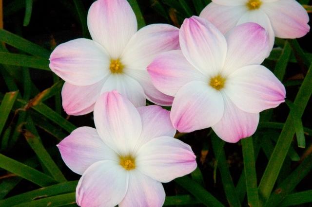 Зефирантес выскочка - цветок дождя