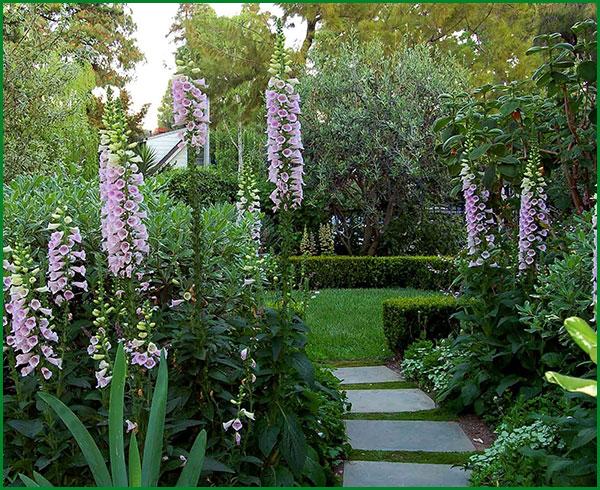 Клумбы с наперстянкой у садовых дорожек