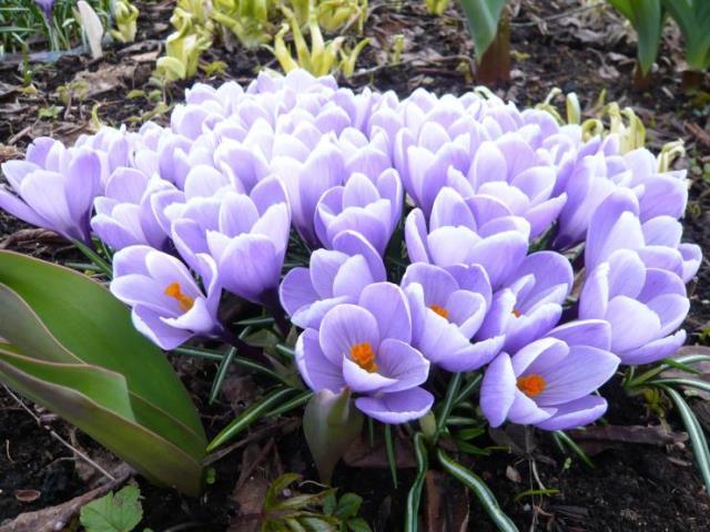 Крокус ранний весенний цветок