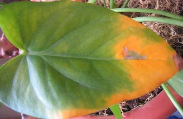 Почему желтеют листья у антуриума