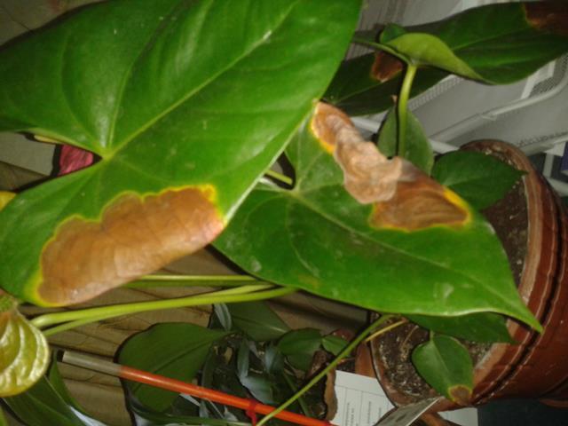Листья сохнут по краю