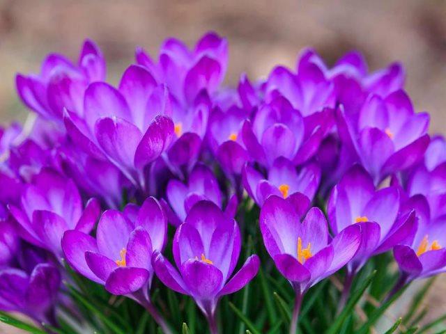 Многолетние крокусы к 8 марта
