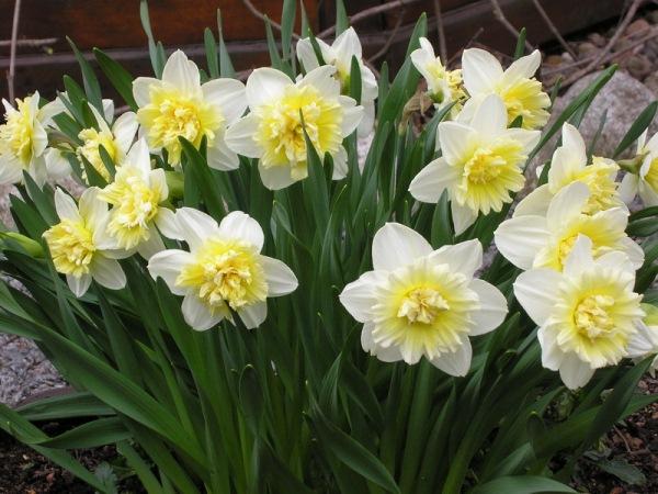 Нарциссы пригодны как для выращивания в саду, так и в качестве горшечных растений