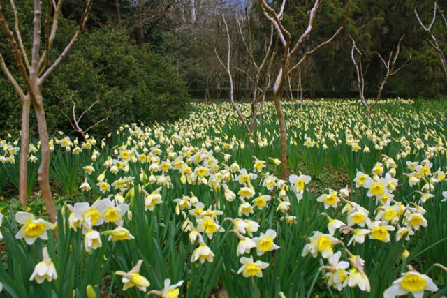 День весна поэзия и поле нарциссов.