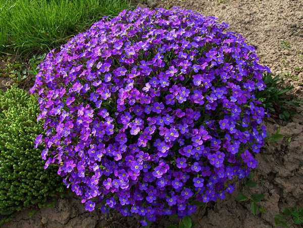 Обриетта – цветковое многолетнее растение из семейства Капустовые