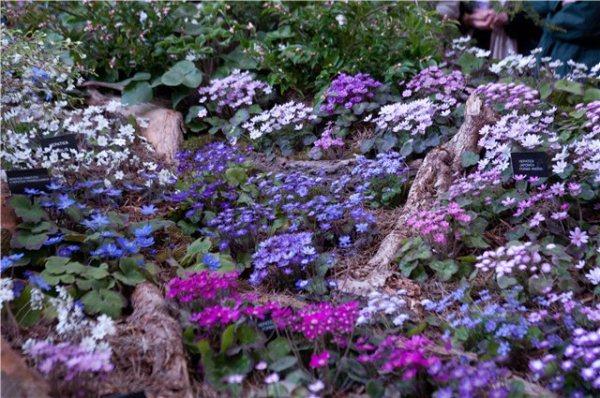 Печёночницы прекрасно смотрятся на каменистых горках