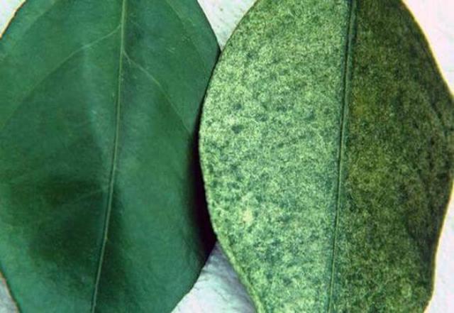 Пятнистость листовых пластин