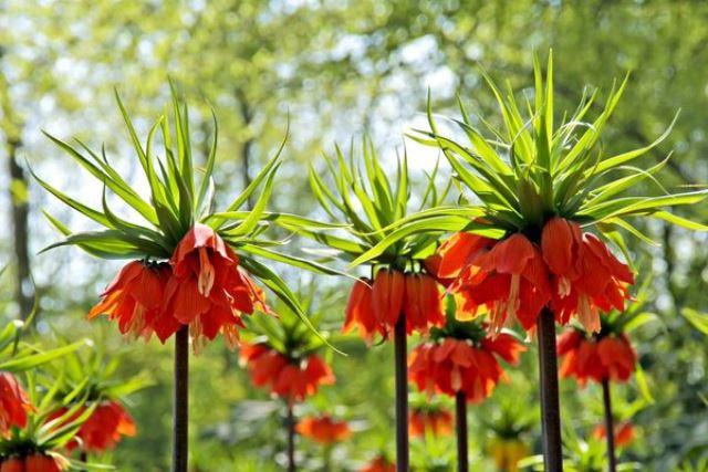 Цветок рябчик императорский в природе