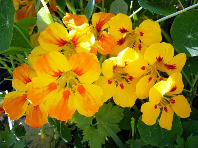 Настурция: выращивание из семян, когда сажать и уход в открытом грунте