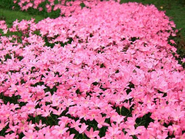 Ковер из розового выскочки