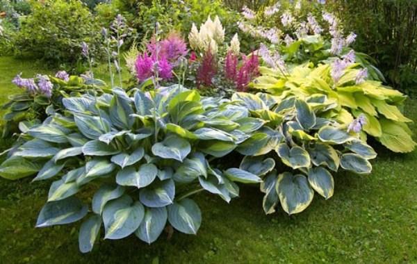 Хосту не всегда комбинируют с другими растениями, так как она насчитывает около 40 видов, разных по форме, фактуре и цвету