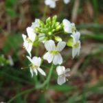 Мало живущие растение Арабидопсис