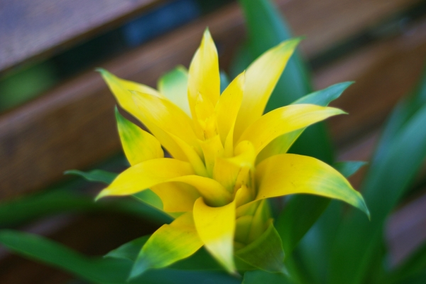 Цветет гузмания один раз, после чего материнское растение умирает, оставляя после себя молодой отросток – «детку»