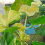 Желтые листья герани