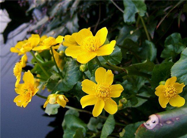 Цветки калужницы крупным планом