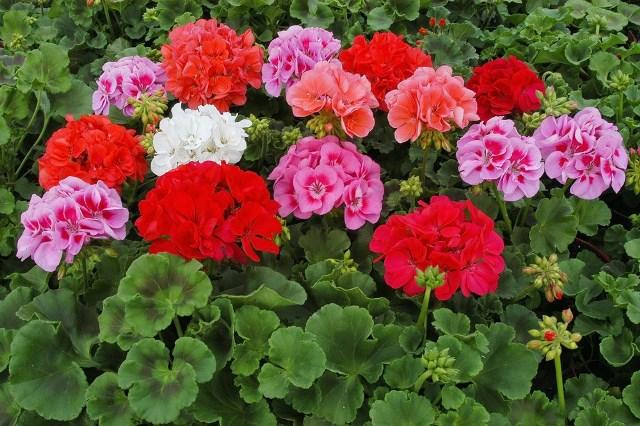 Букет цветов герани