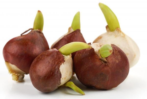 Здоровая луковица гиацинта