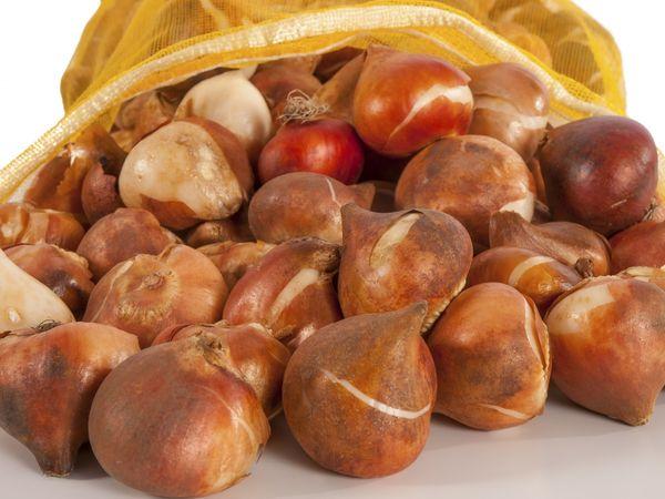 луковицы тюльпан
