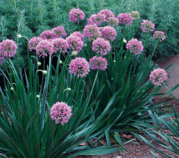 Лук-слизун, фото, выращивание из семян и полезные свойства. Лук-слизун, полезные свойства, выращивание, посадка и уход, размножение польза.