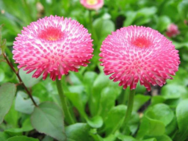 Маргаритка цветок любви